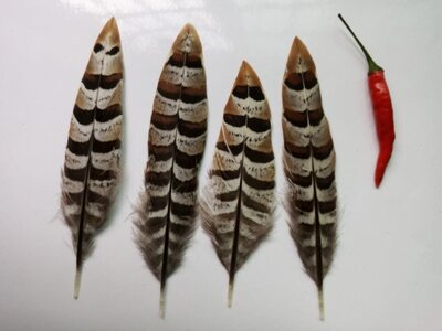 Перья королевского фазана 10-16 см. 1 шт.